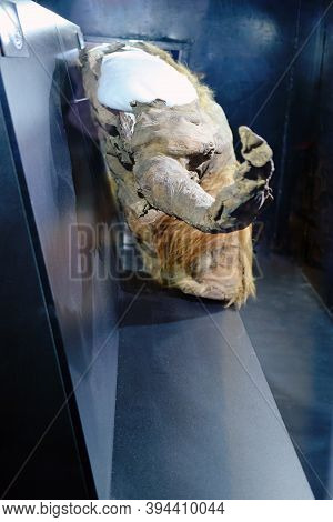 Mummy Of A Young Mammoth Yuka, A Female Of The Woolly Mammoth Fossil Species (mammuthus Primigenius)