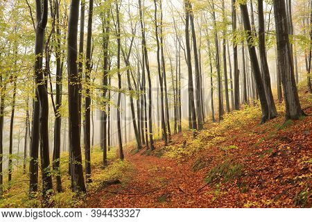 Autumn beech forest in the foggy weather