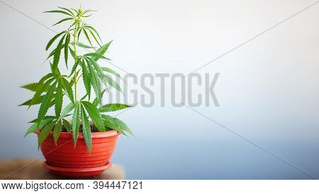 Growing Hemp Bush In Pot At Home On A Windowsill. Beautiful Background Of Green Leaves On Cannabis B