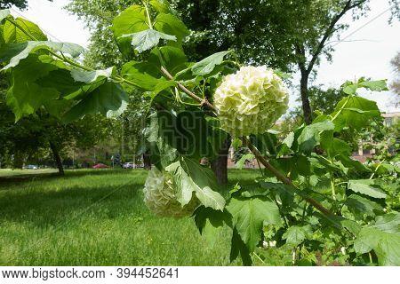 Pair Of White Inflorescences Of Viburnum Opulus Sterile In May