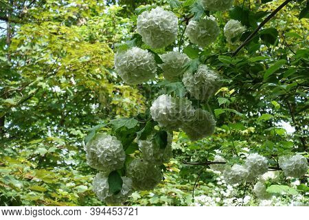 Showy Round White Inflorescences Of Viburnum Opulus Sterile In Mid May