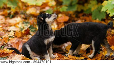 Cute Little Mongrel Dogs Sit On Fallen Yellow Leaves In The Autumn Park