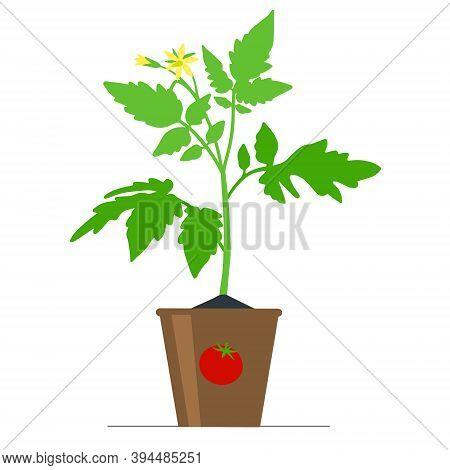 Seedlings Of A Tomato Bush In A Flower Pot. Vector