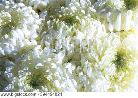 Flower Background Of A Bouquet Of White Chrysanthemums