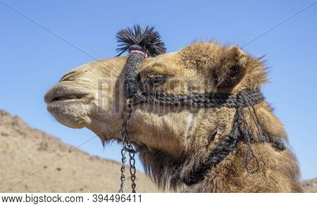 Headshot Of A Dromedary Camel At  The Mount Sinai In Egypt. The Head Of A Camel , Close Up.