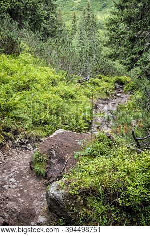 Footpath In Coniferous Forest, Western Tatras Mountains, Slovak Republic. Hiking Theme. Seasonal Nat