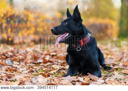 Black German Shepherd With Long Tongue In Autumn In The Park. Dog Is Waiting For The Owner. Command