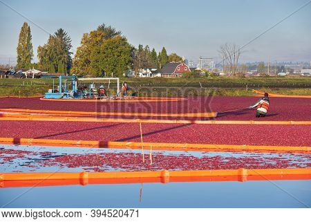 Richmond, British Columbia, Canada - October 26, 2017. Cranberry Harvest Flooded Field. Cranberries