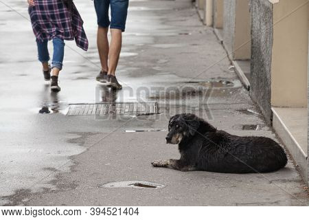 Lutalica, A Typical Serbian Stray Dog Stray Dog Laying Down In The Middle Of A Pedestrian Sidewalk W