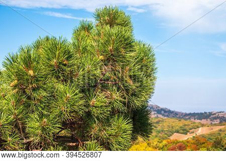 Green Pine Tree With Long Needles On A Background Of Autumn Landscape And Blue Sky. Crown Of Lush Gr