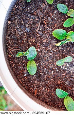 Pumpkin Plants In Wooden Barrel Planter Outdoor In Sunny Vegetable Garden