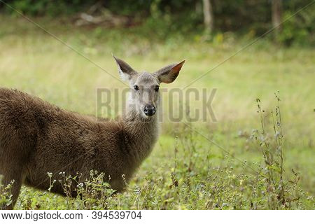 Young Female Sambar Deer In Khao Yai National Park Thailand