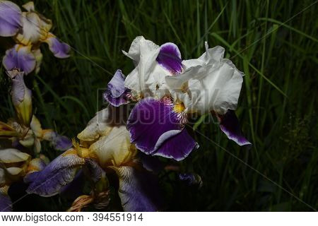 Irises Are Wonderful Garden Plants.