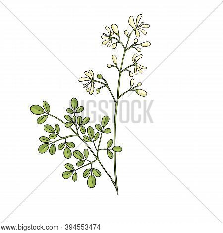 Vector Drawing Drumstick Tree Branch With Leaves And Flowers, Moringa Oleifera , Hand Drawn Illustra
