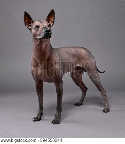 Beautiful Xoloitzcuintle (mexican Hairless Dog)   Portrait Standing  Close-up On Neutral Gray Backgr