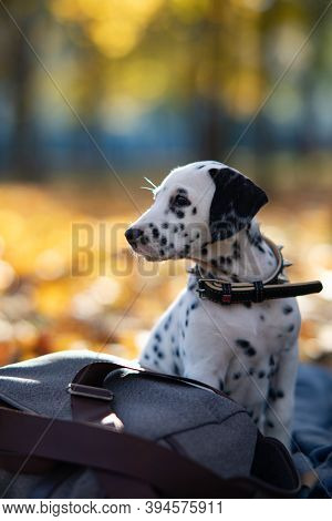 Puppy Of Dalmatian Dog Sits On The Coverlet Near Bag While Walking In Autumn Park.