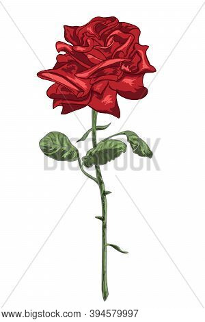 Red Rose With Stem, Leaves And Thornes Isolated On The White Background. Vector Illustration