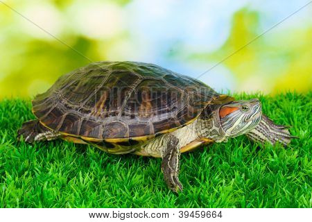 red ear turtle on grass on bright background