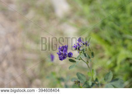 Alfalfa Flowers - Latin Name - Medicago Sativa