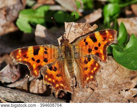 comma butterfly resting on plant in spring ( Poligonia C-album)
