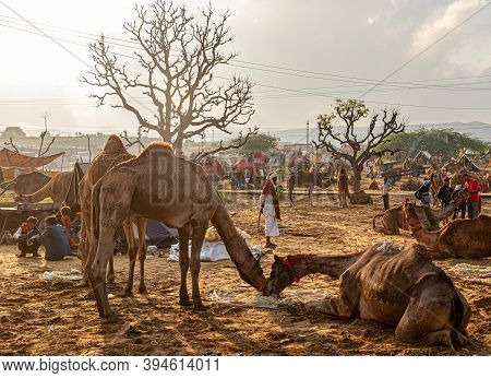 Pushkar, India - November 2020: The Herd Of Dromedary Camels Being Led Throw The Desert Landscape At