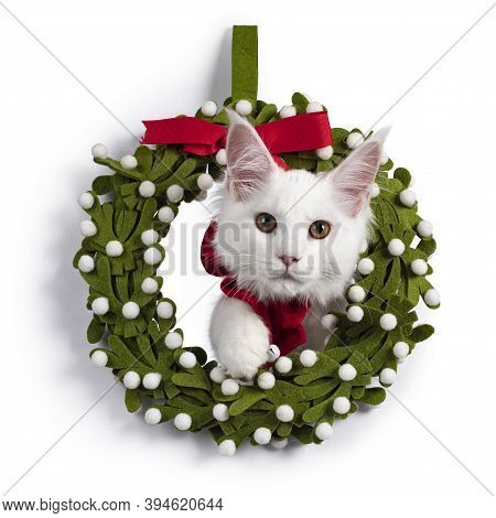 Adorable Solid White Maine Coon Cat Kitten, Sitting With Head Trought Chistmas Wrath Wearing A Red B