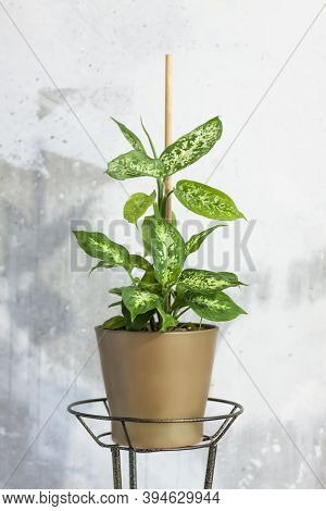 Pot With A Home Plant On The Background Of An Untreated Wall. Home Or Room Decorations. Houseplant.