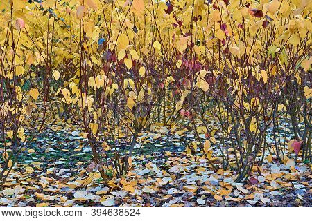 Autumn Bushes With Thick Yellow Foliage Close-up For Natural Background