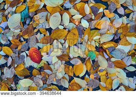 Motley Multi-colored Autumn Foliage On The Ground For Natural Background And For Wallpaper