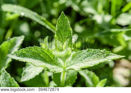 Fresh Plant With Morning Dew Of Mentha Suaveolens Commonly Known As Apple Mint A Member Of The Famil
