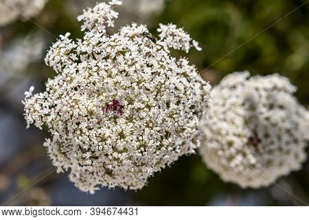 Ammi Majus Flowers A Plant Commonly Known As Bishop's Weed Or Laceflower Member Of The Carrot Family
