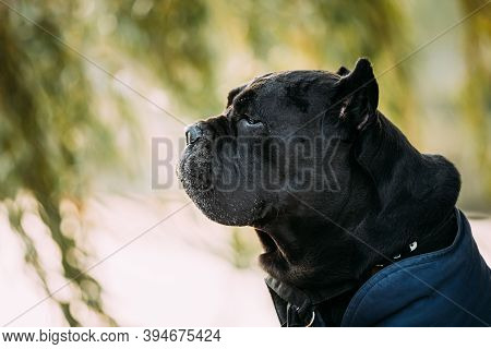 Black Cane Corso Dog Sitting Near Lake Under Tree Branches. Dog Wears In Warm Clothes. Big Dog Breed