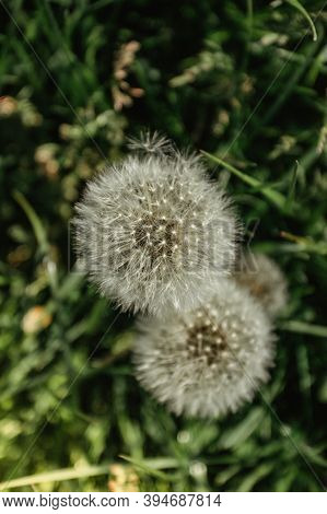 White Fluffy Dandelions On A Spring Meadow.natural Green Spring Background.fragile Dandelion Feather