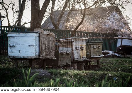 Old Wooden Hives On Apiary. Flowering Cherry With Pollen For Development Of Bees In April. Primroses