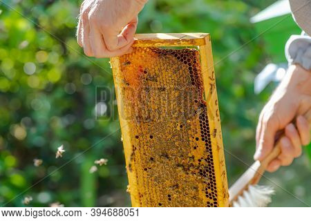 Beekeeper Puts Frame In Hive. Work On Apiary In Summer. Beekeeping. Caring For Bees. Profitable Hobb