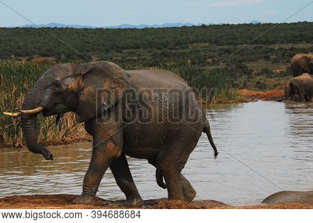 Close Up Of A Wild Bull Elephant With Exposed Penis.  He Had Just Climbed Out Of A Watering Hole Aft