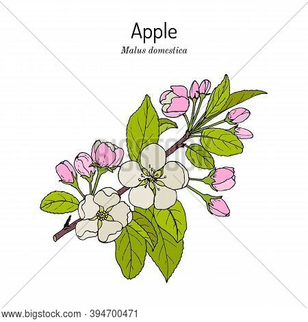 Blossoming Apple Tree Branch Malus Domestica , State Flower Of Michigan. Hand Drawn Botanical Vector