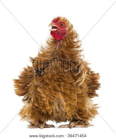 Crossbreed rooster, Pekin and Wyandotte, looking away against white background