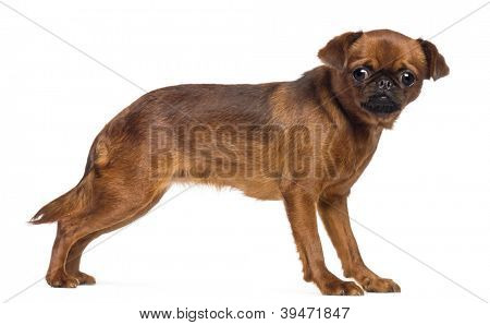 Griffon Bruxellois, 2 years old, looking at camera against white background