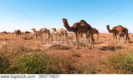 Herd Of Camels In El Gouera, Sahara. Morocco. Concept Of Wildlife