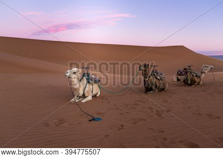 Dromedary Group On The Desert Dune Of Erg Chigaga, At The Gates Of The Sahara, At Dawn. Morocco. Con