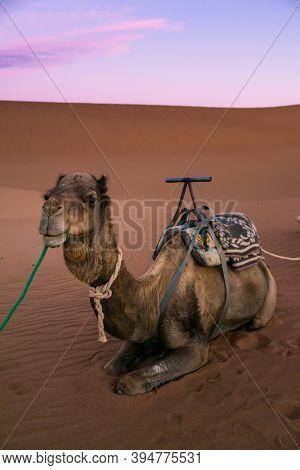 Dromedary On The Desert Dune Of Erg Chigaga, At Sahara, At Dawn. Morocco. Concept Of Travel And Adve