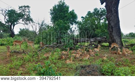 A Large Group Of Impalas Resting Next To An Old Tree. Thick Trunk, Huge Dry Roots. Around Green Gras