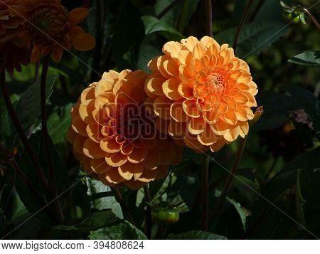 Blooming Orange Dahlias  On The Flower Bed