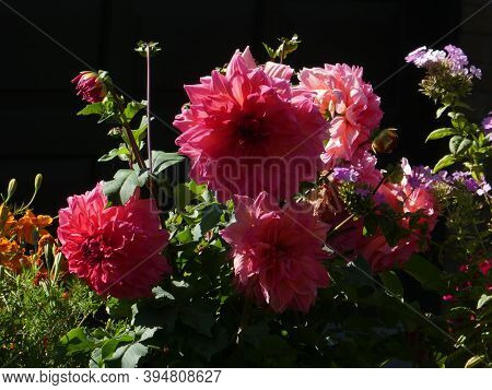 Blooming   Pink Dahlias On The Flower Bed