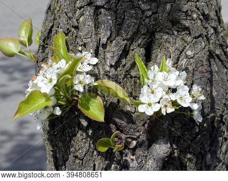 Blooming White  Apple Flowers On The Tree