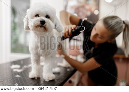 Cropped Shot Of A Young Blonde Pet Beautician And White Purebred Bichon. Grooming Of White Dog.