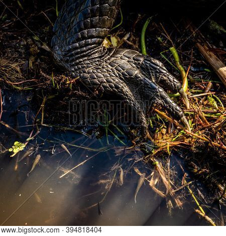 Small Fish And Alligator Foot At Edge Of Water Creek