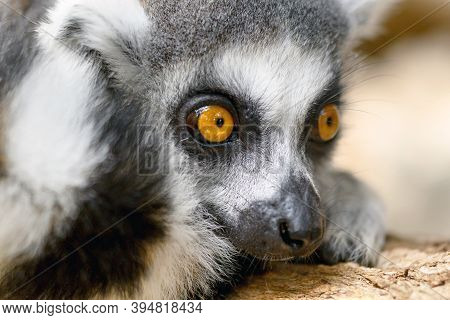 Close Up Ring-tailed Lemur Portrait In Nature. High Quality Photography.