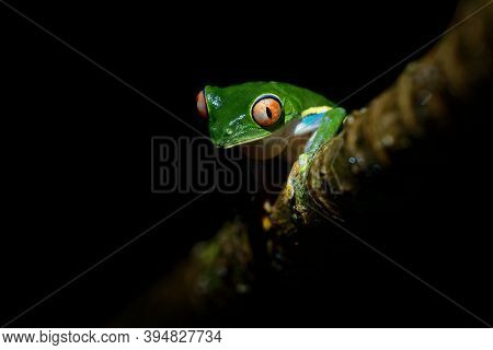 Red-eyed Tree Frog - Agalychnis Callidryas Arboreal Hylid Native To Neotropical Rainforests From Mex